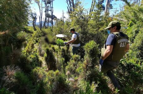 Carabineros decomisa inédita plantación de marihuana oculta en la cordillera de Melipeuco