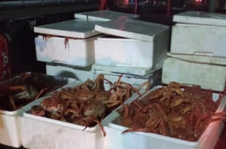 Carabineros y Sernapesca incautan más de 100 kilos de centolla en controles carreteros